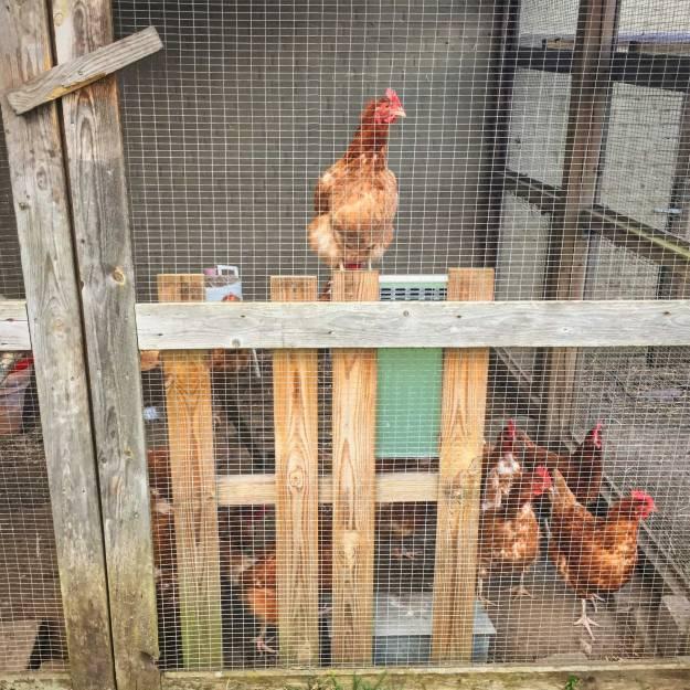 vred høne i bur